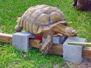 Turtle climbing over bricks