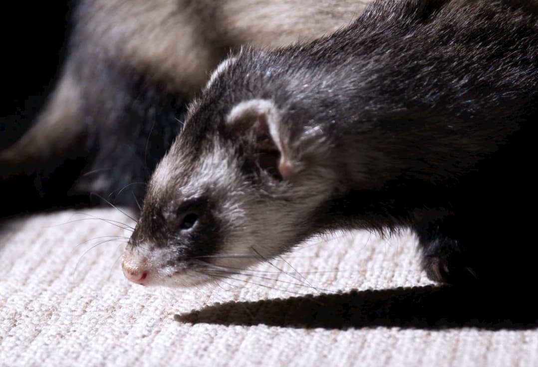 How to look after ferrets