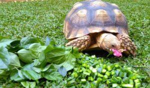 Sulcata-Tortoise-Food