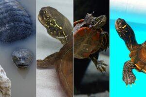 Types-of-Pet-Turtles