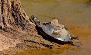 turtle shedding scutes