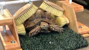 turtle shell brush