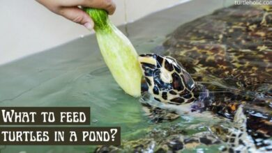 what-do-you-feed-a-turtle-in-pond